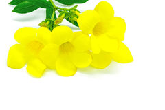 Allamanda Stock Photo