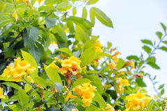 Allamanda, beautiful yellow flower Royalty Free Stock Photo