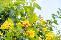 Allamanda, beautiful yellow flower Royalty Free Stock Photo