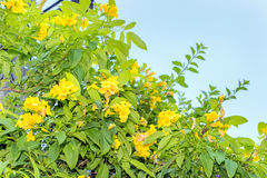 Allamanda, beautiful yellow flower Royalty Free Stock Photography