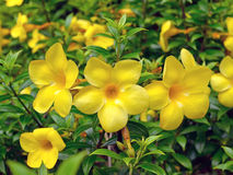 Allamanda, beautiful yellow flower Stock Photography