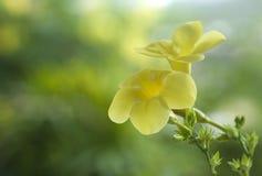 Allamanda, belle fleur jaune Photographie stock