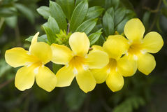 Allamanda, bello fiore giallo Fotografia Stock
