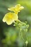 Allamanda, bello fiore giallo Fotografie Stock Libere da Diritti