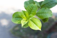 Allamanda blanchetii liść z miękkim światłem Zdjęcia Stock
