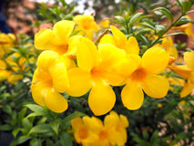 Allamanda-Blumen, gelbe Farbe Stockbild