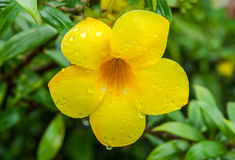 Allamanda Cathartica flowers in rainy day Royalty Free Stock Image