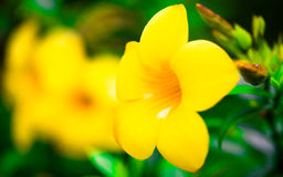 Allamanda cathartica , Flowers Royalty Free Stock Photography