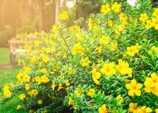 Free Allamanda Cathartica In The Garden Royalty Free Stock Photo - 43168645