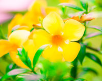Allamanda cathartica, kwiaty Zdjęcie Royalty Free