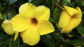 Allamanda cathartica mexican tropical flower Stock Photos