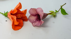 Allamanda cathartica und Malve des Chinesen Rose oder Rosa lokalisiert Stockbild