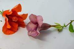 Allamanda cathartica und Malve des Chinesen Rose oder Rosa lokalisiert Lizenzfreie Stockfotografie