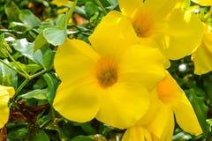 Allamanda, allamanda commun, trompette d'or, vigne de trompette d'or, cathartica L d'Allamanda de cloche jaune , plantes ornement photo libre de droits