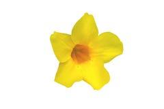 Allamanda, fiore giallo Immagine Stock