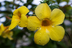 Allamanda Flower Royalty Free Stock Images
