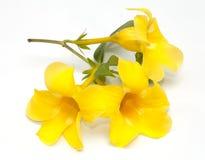 Allamanda flower isolated Royalty Free Stock Image