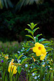 Allamanda flower Stock Photo