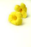 Allamanda flowers Stock Image