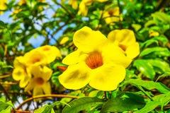 Allamanda, gemeiner Allamanda, goldene Trompete, Rebe der goldenen Trompete, gelbe Glocke Allamanda cathartica L , Zierpflanzen,  lizenzfreie stockfotografie