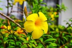 Allamanda, gemeiner Allamanda, goldene Trompete, Rebe der goldenen Trompete, gelbe Glocke Allamanda cathartica L , Zierpflanzen,  lizenzfreies stockfoto