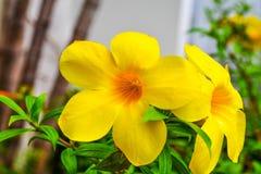 Allamanda, gemeiner Allamanda, goldene Trompete, Rebe der goldenen Trompete, gelbe Glocke Allamanda cathartica L , Zierpflanzen,  stockbild