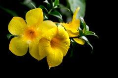 Allamanda giallo dopo pioggia Immagine Stock Libera da Diritti