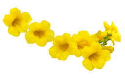 Allamanda Golden Trumpet Stock Photography