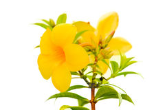 Allamanda or golden trumpet , beautiful yellow flower isolated on white Royalty Free Stock Photo