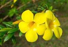 Allamanda, goldene Trompeten-Blume Stockfotos