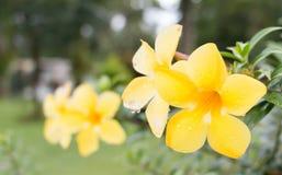 Allamanda i trädgård Fotografering för Bildbyråer