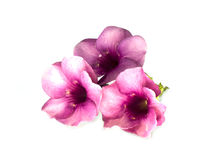 Allamanda púrpura Foto de archivo libre de regalías