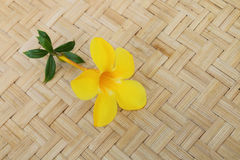 Allamanda on pannier Stock Images