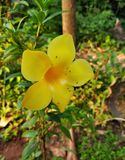 Allamanda royalty free stock photos