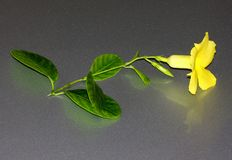 Allamanda salvaje, Mandevilla amarillo, luteum de Pentalinon, antes lutea de Urechites foto de archivo