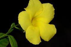 Allamanda selvatico, Mandevilla giallo, luteum di Pentalinon, precedentemente lutea di Urechites fotografie stock libere da diritti