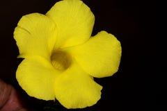 Allamanda selvatico, Mandevilla giallo, luteum di Pentalinon, precedentemente lutea di Urechites immagine stock