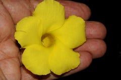 Allamanda selvatico, Mandevilla giallo, luteum di Pentalinon, precedentemente lutea di Urechites immagini stock libere da diritti