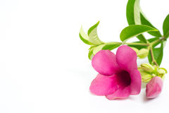 Allamanda violeta Fotos de archivo libres de regalías