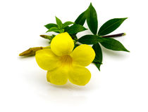 Allamanda yellow flower  on. Yellow flower  on white background Royalty Free Stock Photo