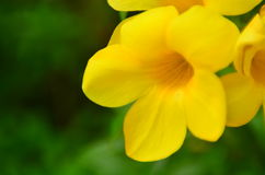 Allamanda stock photos