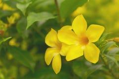Allamandabloemen, Gele bloemen op vage achtergrond stock afbeeldingen
