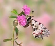 Allancastria cerisyi speciosa (underside) Royalty Free Stock Photography