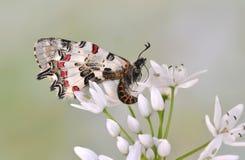 Allancastria cerisyi speciosa (underside) Royalty Free Stock Images
