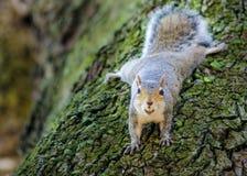 Allarme dello scoiattolo Immagini Stock Libere da Diritti