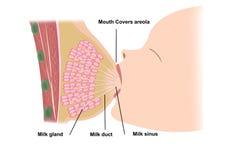 Allattamento al seno Immagine Stock