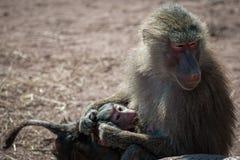 Allattamento al seno del babbuino Fotografia Stock