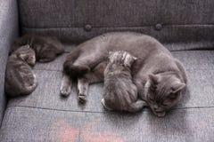 Allattamento al seno del gatto fotografie stock
