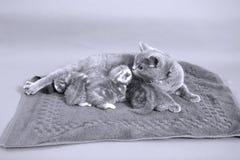 Allattamento al seno del gatto Fotografie Stock Libere da Diritti