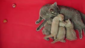 Allattamento al seno del gatto su un tappeto rosso video d archivio